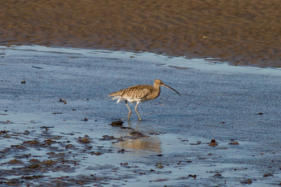 Curlew IMG_9560