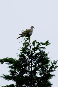 Collared Dove IMG_9201
