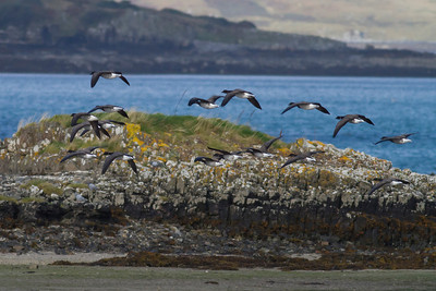 Brent Geese IMG_9384