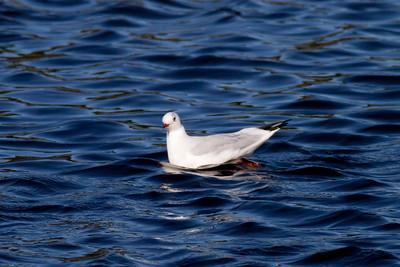 Black-headed  Gull IMG_9536 rev 1