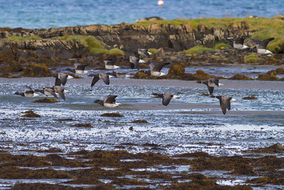 Brent Geese IMG_9382