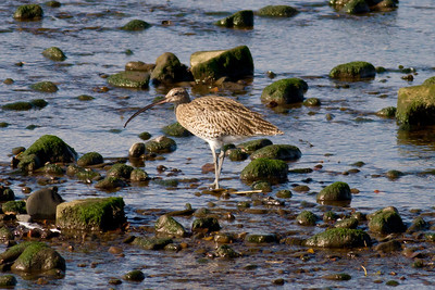Curlew IMG_9587