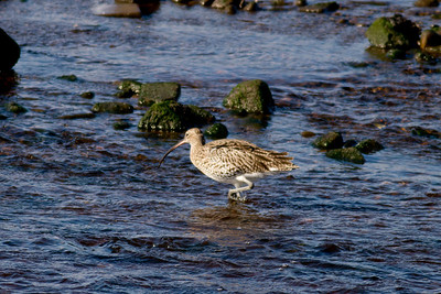 Curlew IMG_9583