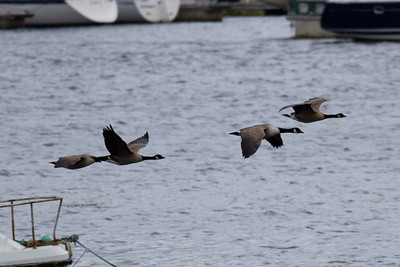 Canada Geese IMG_9203