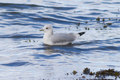 Common Gull IMG_9144