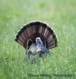 Male Turkey Strutting With Fan