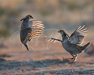 Backlit Prairie Chickens fighting
