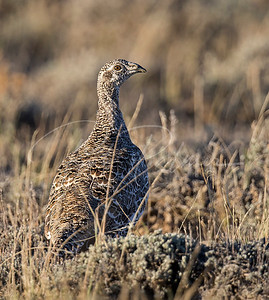 Fall Sage Grouse