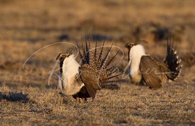 "Sage Grouse performing on the mating grounds ""lek"""