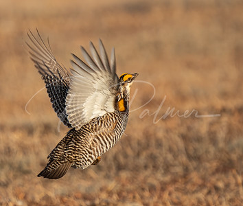 Greater Prairie Chicken taking off