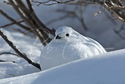 White Tailed Ptarmigan in winter