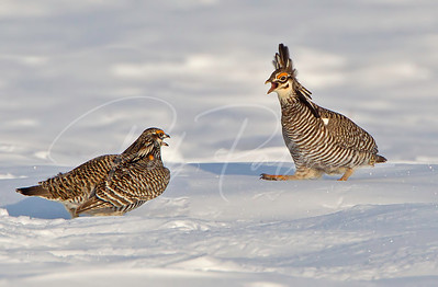 Greater Prairie Chickens preparing for battle.
