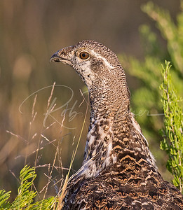 Sage Grouse Portrait