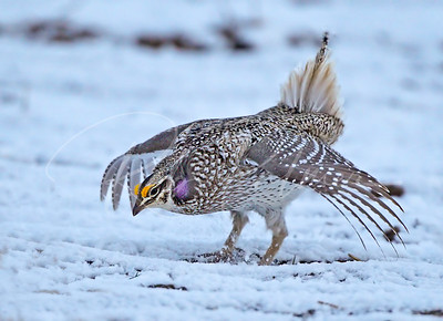 Sharptail Grouse dancing
