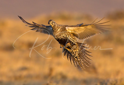 Female Sage Grouse incoming!