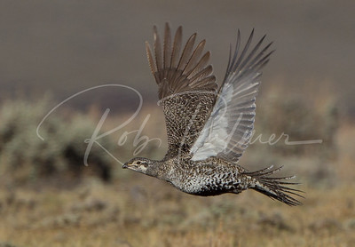 Hen Sage Grouse in flight.