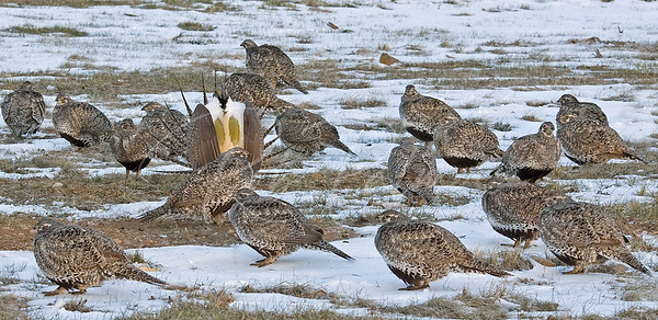 Sage Grouse male with his harem of females. 36545