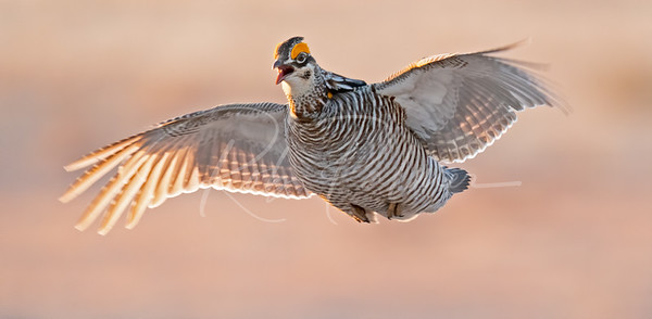 Greater Prairie Chicken landing