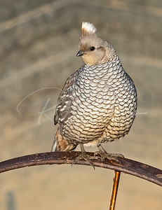 Scaled Quail on a iron wheel