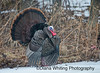 Wild Turkey Displaying