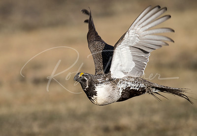 Male Sage grouse leaving his lek (mating grounds)