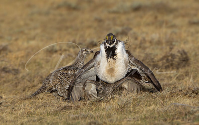 Sage Grouse Mating