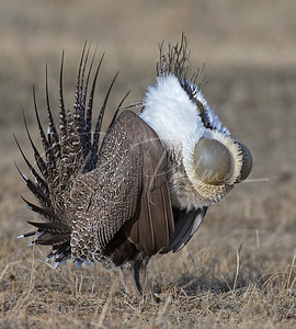 "Male Sage grouse with ""inflated"" ego"