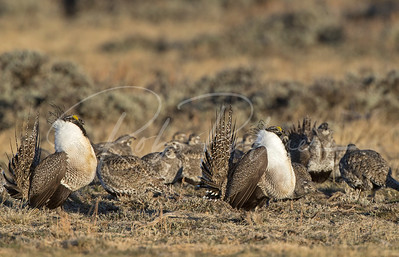 Two male sage grouse and a harem of females