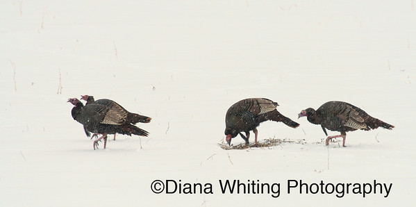 Winter Turkeys_DSC4249 copy