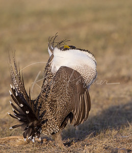 All Puffed Up! Male Sage Grouse
