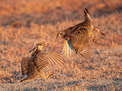Fighting Prairie Chickens