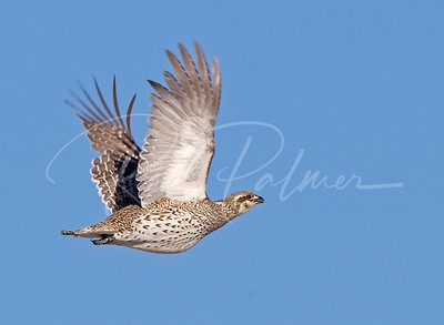 Sharptailed Grouse 2426