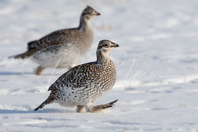Sharp Tailed Grouse 64771
