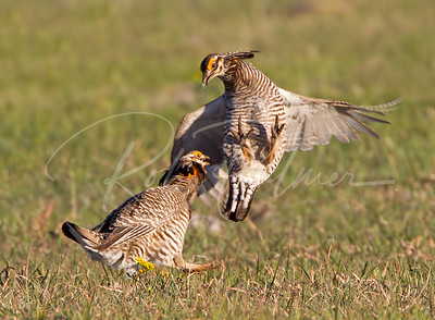 Two male Greater Prairie Chickens fighting.