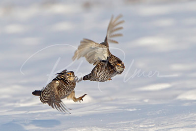 Greater Prairie Chicken chasing off a competitor.  Note the feather just pulled from the lead bird.