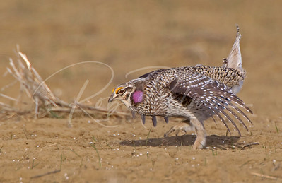 Sharptailed Grouse dancing on his lek (mating ground) 2207