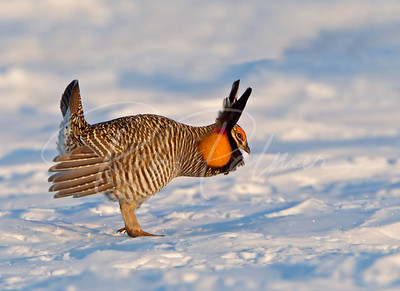 Greater Prairie Chicken displaying