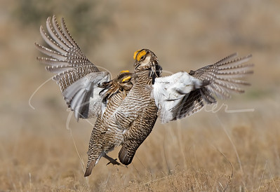 Lesser Prairie Chickens doing battle.