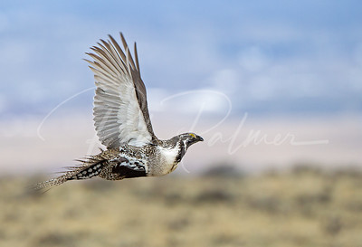 Cock Sage Grouse in Flight.