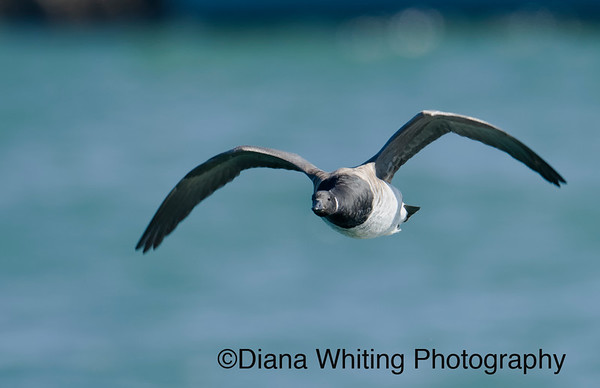 Brant Goose in Flight
