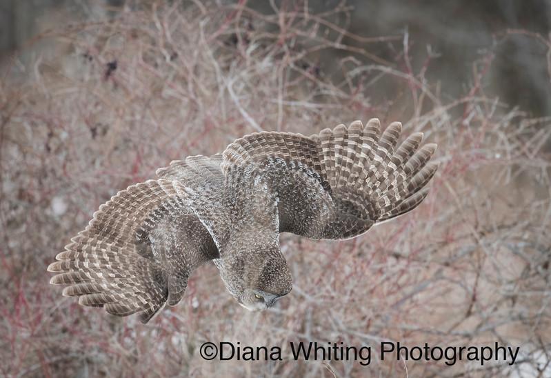Great Gray Owl Diving On Prey