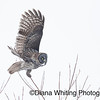 Great Gray Owl Taking Off on One Foot