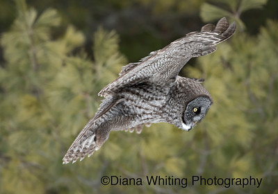 Great Grey Owl Robert Moses State Park