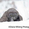 Great Gray Owl With Prey_Not Baited