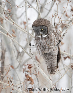 Great Grey Owl Robert Moses State Park