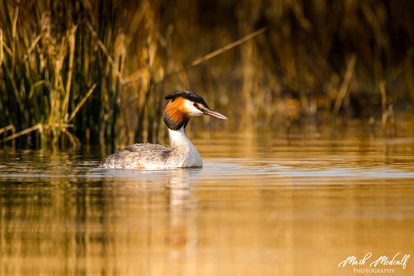 Autumn Grebe