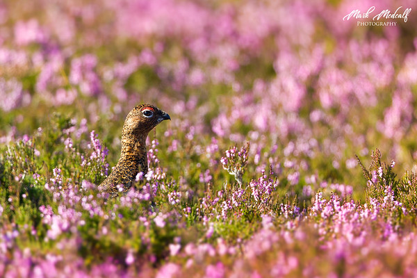 redgrouse5393