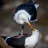 Gulls At La Jolla