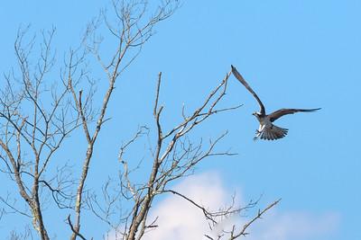 Osprey Aborts Treetop Landing