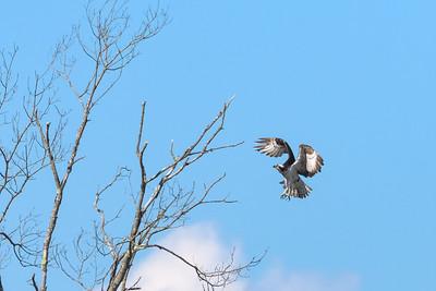 Osprey Treetop Approach